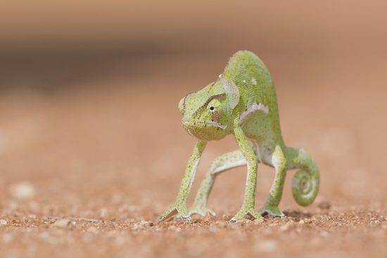 Chameleon in the sand