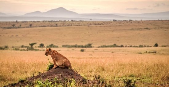 Lion in the savannah