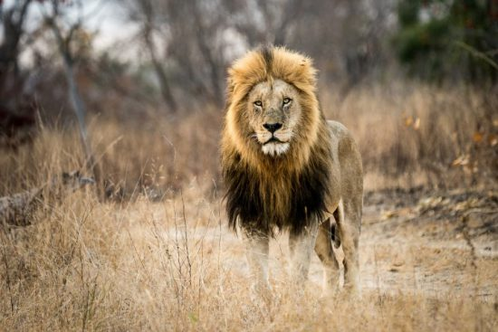 Lion standing in long grass