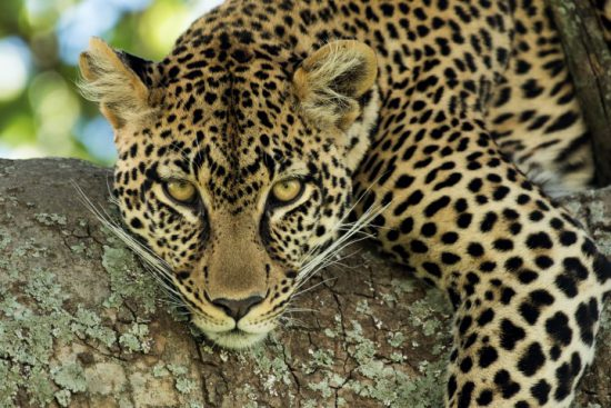 close-up of a leopard lying in a tree