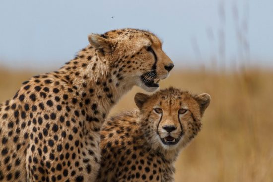 two cheetahs sitting in the sun