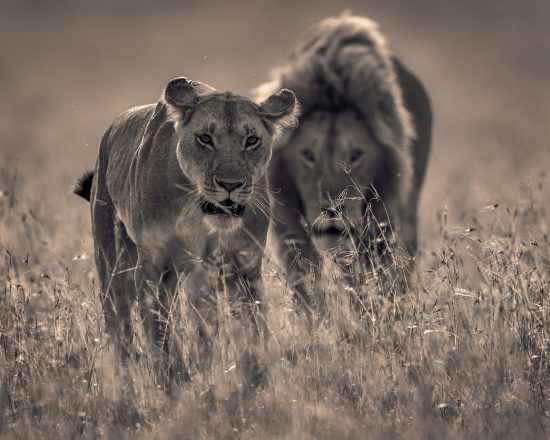 male and female lions walking side by side