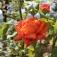 Die Leuchtenburger Rose blüht!