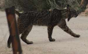 Lince col