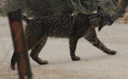 Lince foro