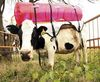 Vaca con mochila thumb
