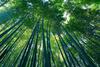 Bambu thumb