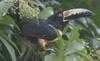 Img 7992 collared ara%c3%a7ari pteroglossus torquatus thumb