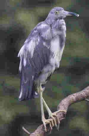 Little blue heron juvenil egretta caerulea 2 col