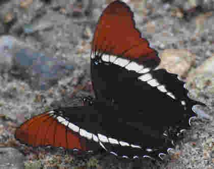 Mariposa foro
