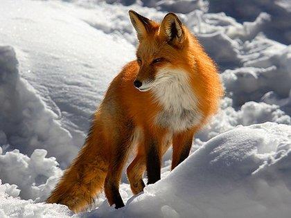 549381  red fox p foro