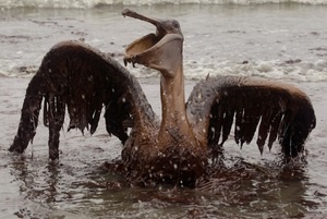 Brown pelican oil col