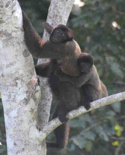 Monos foro