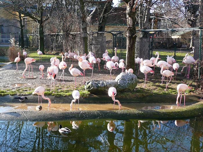 Фламинго в венском зоопарке