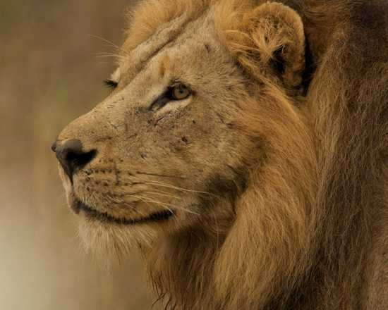 Singita is host to the Big Five and offers excellent game viewing drives