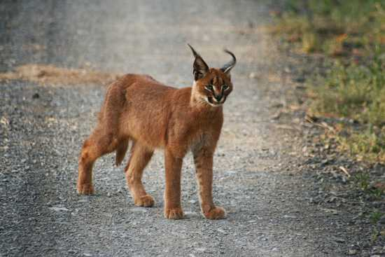Spot caracal in Melton Manor Kwandwe