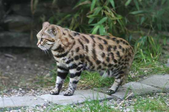 The black footed cat is the smallest African cat.