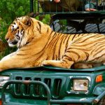 See wild tigers in Africa