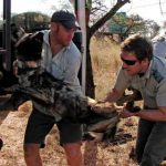Dealing with sedated Wild Dogs