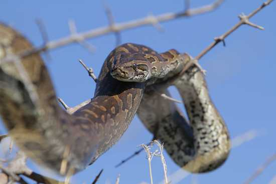 A python suns itself in a tree