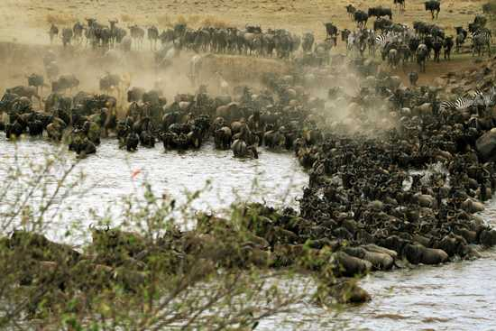 1.5 million wildebeest risk their lives following only instinct during The Great Migration