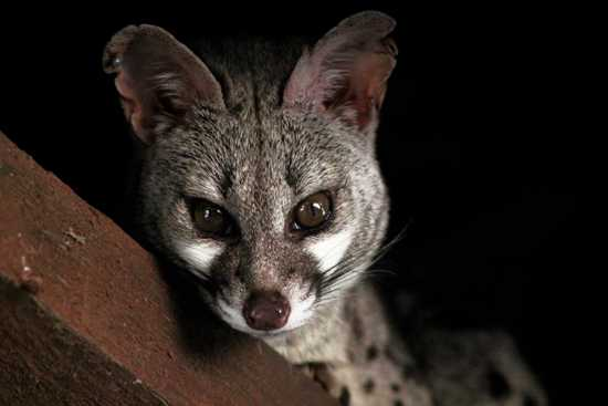 This curious genet is often seen watching guests on Phinda eating their dinner at the lodge