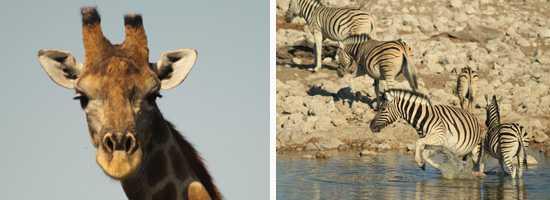 Wildlife of Etosha