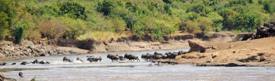 The big star of the Great Migration... the river crossing