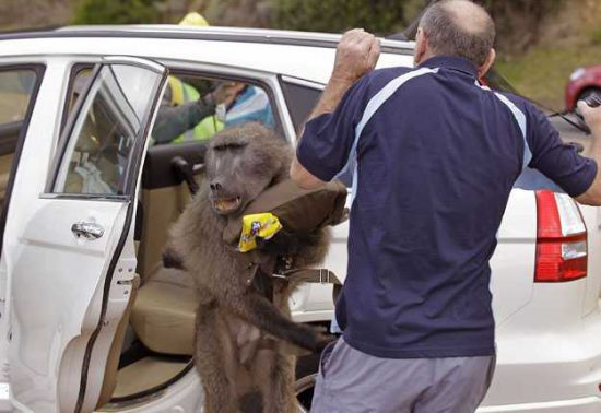 Get out of my way! Source: News 24 http://www.news24.com/Multimedia/South-Africa/Baboon-raids-car-20111020