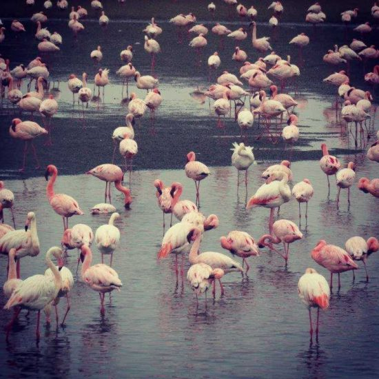 Flamingoes in Namibia