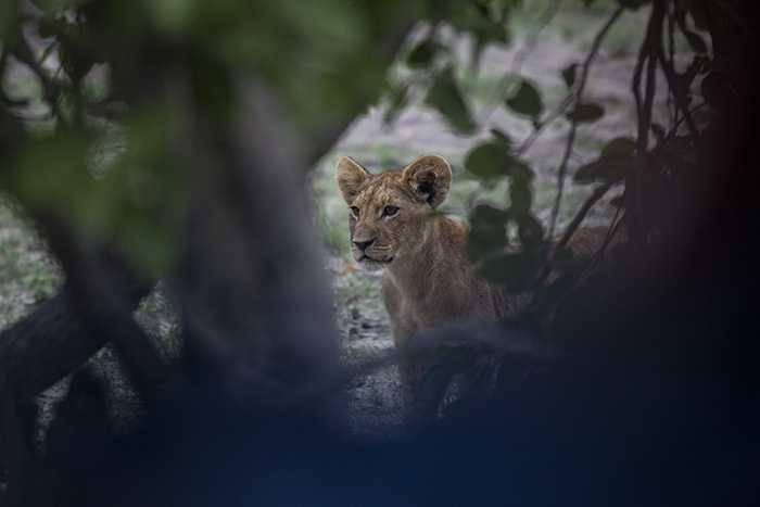 The lions of Zarafa