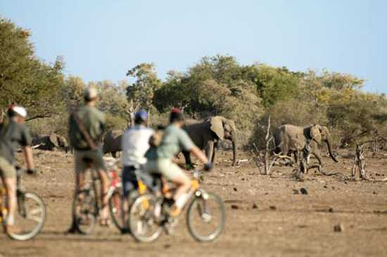 Tourists mountain biking with elephants in Victoria Falls