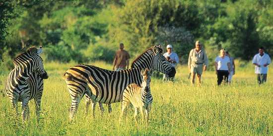 Walking safari with zebra in Victoria falls