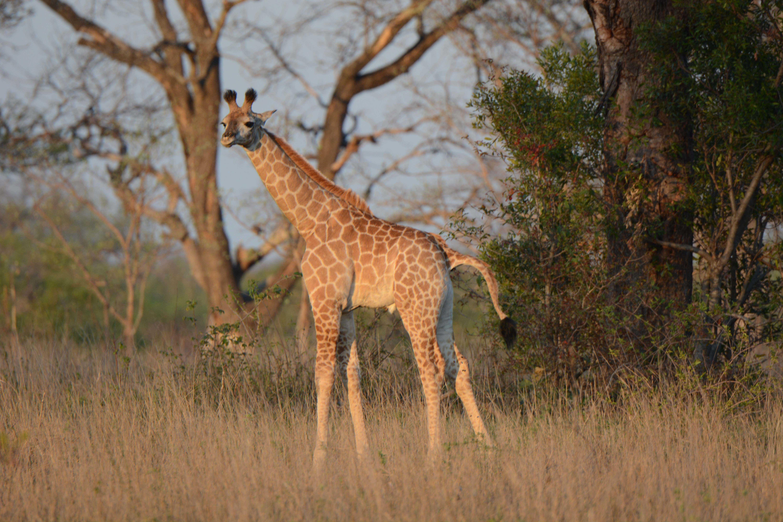 Adolescent-Giraffe-in-the-veld-Londolozi-Tree-camp