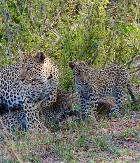 Female leopard with her three cubs at Londolozi