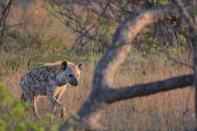 Hyena at sundown Londolozi Tree Camp