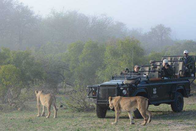 Lionesses pass by the londolozi game vehicle in the morning mist