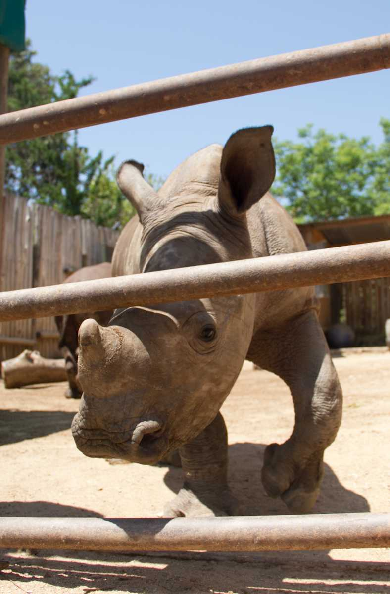 Close up of baby rhino