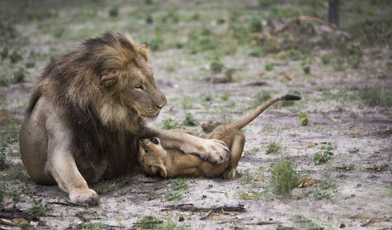 Lion playing with a cub in Botswana1)