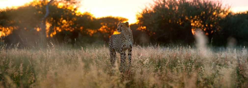 Africat cheetah at sunset