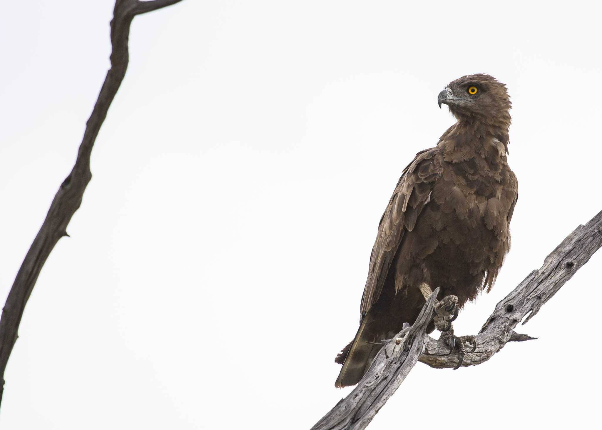 Brown snake eagle in Botswana