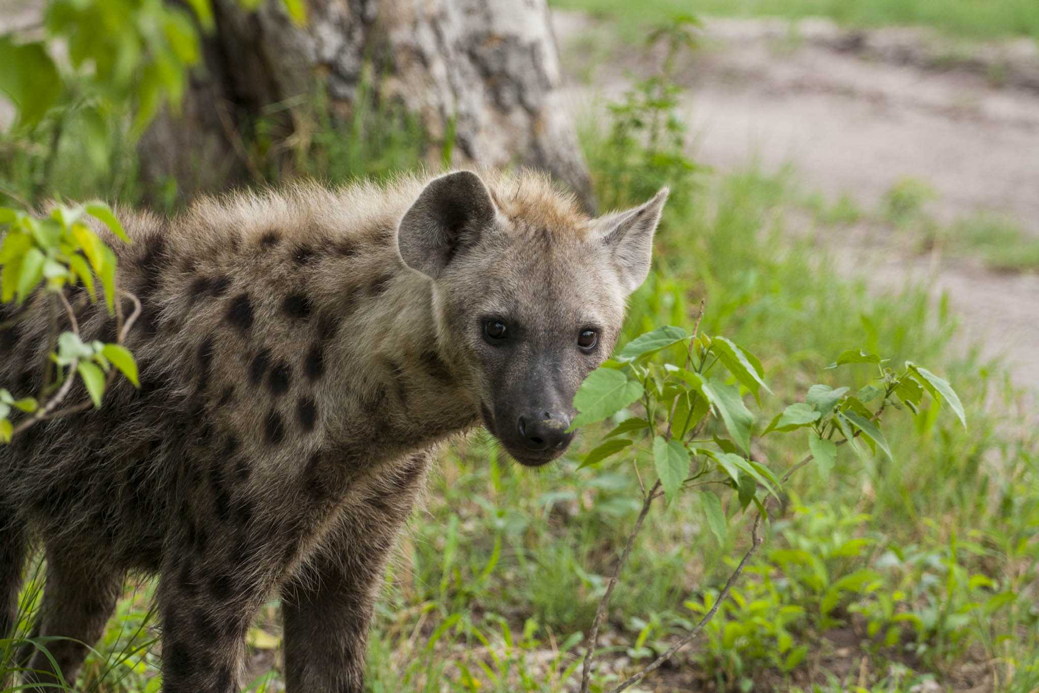 hyena on the prowl in Botswana