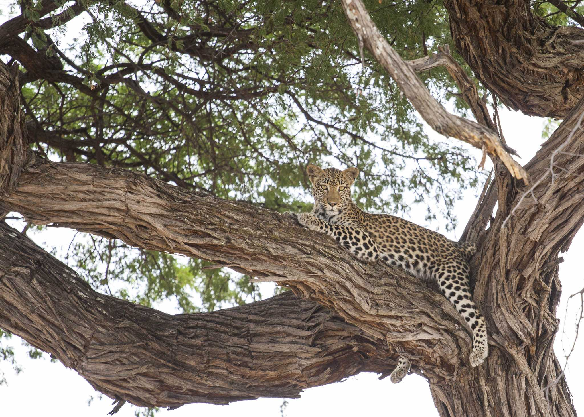 A leopard in a tree in Botswana