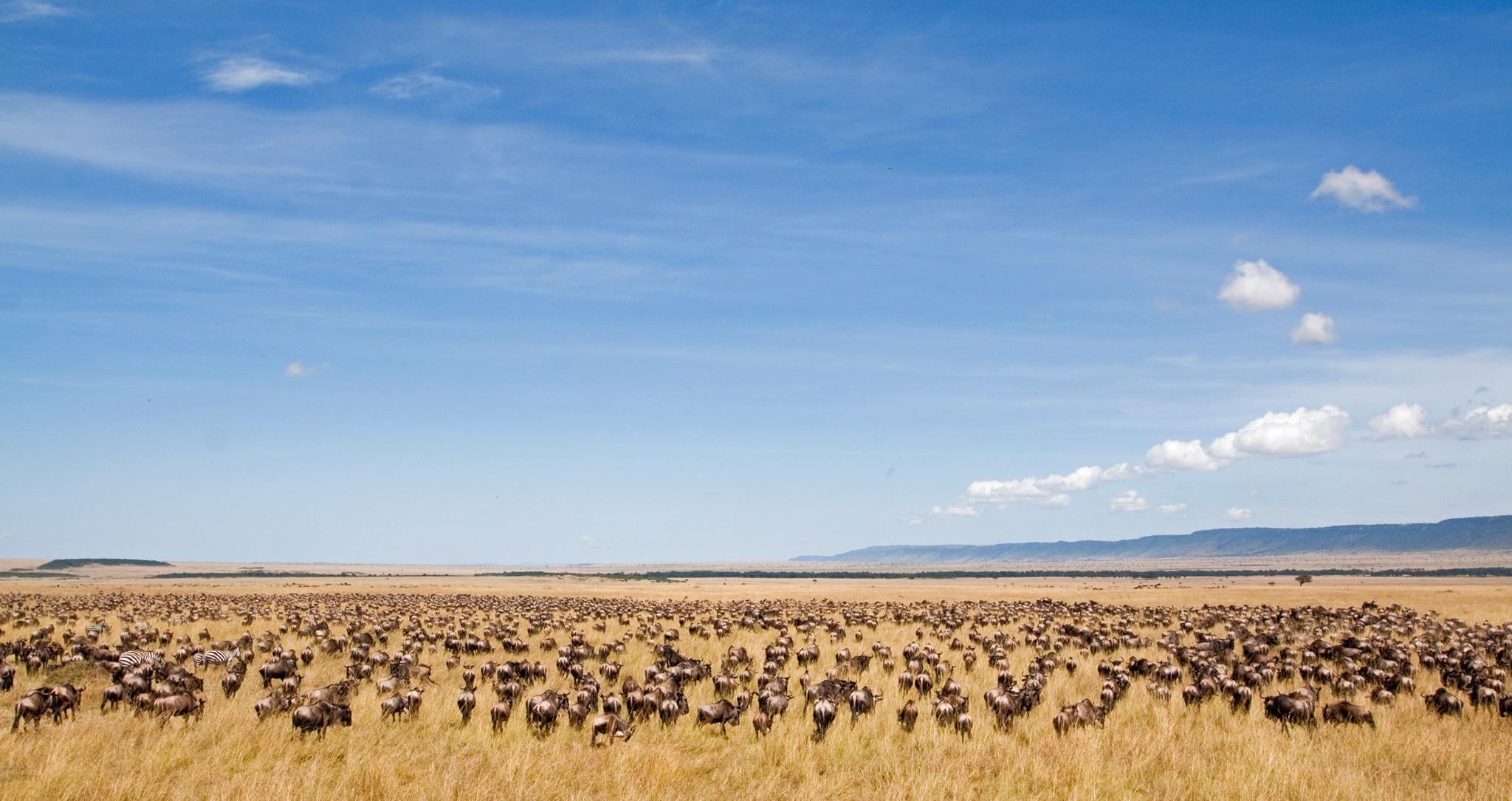 Die große Migration durch die Steppen des Serengeti und Masai Mara Nationalparks