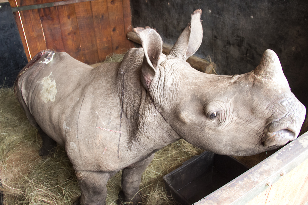 Baby-rhino-in-pen