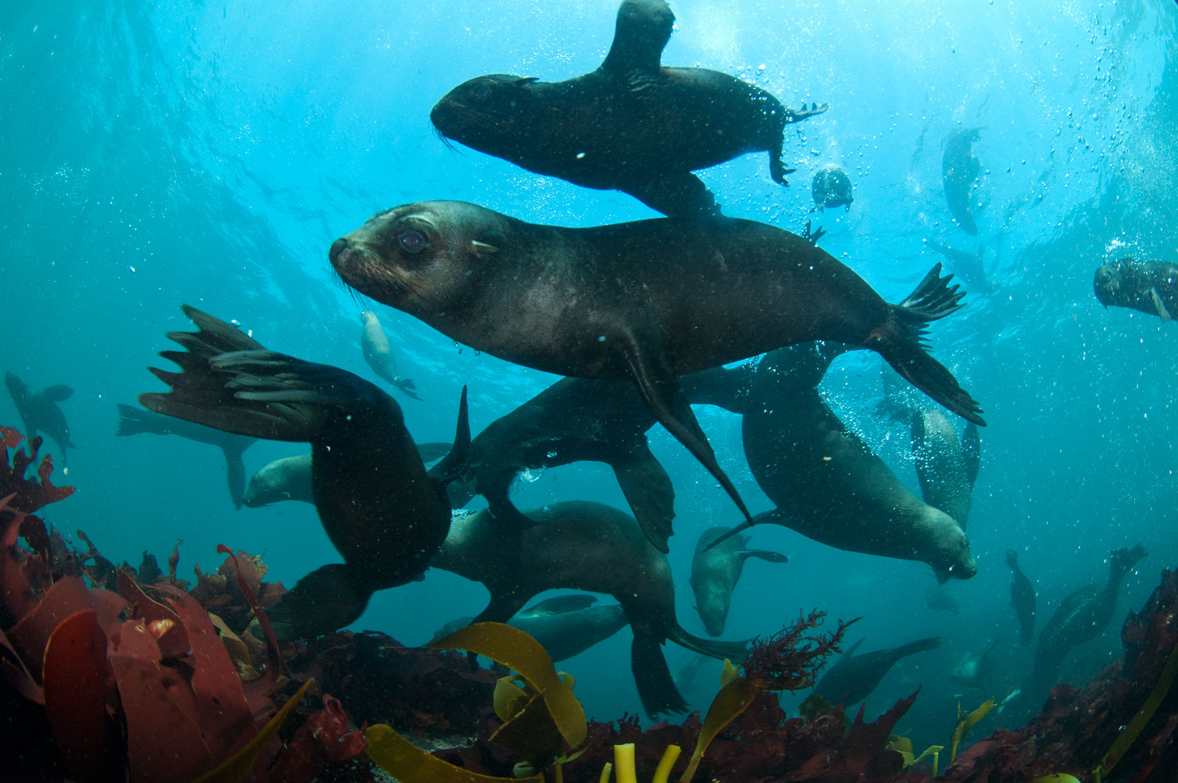 seals-swimming-ocena-cape-town-attraction