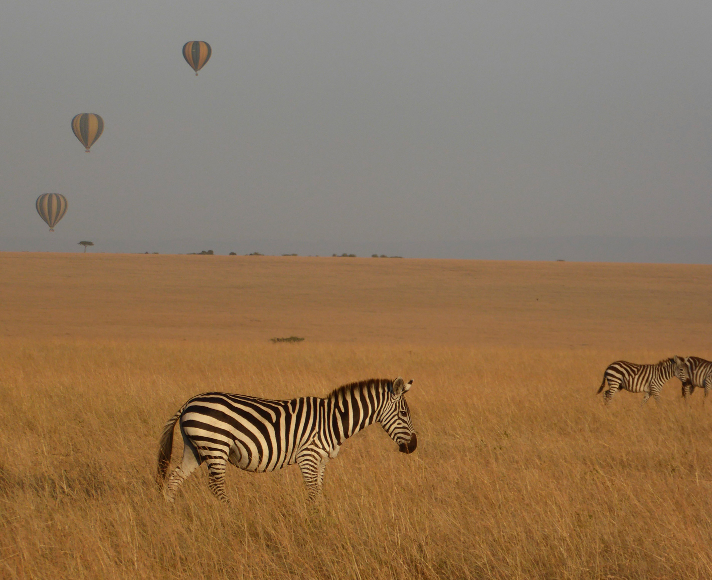 Zebras with three hot air balloons in background