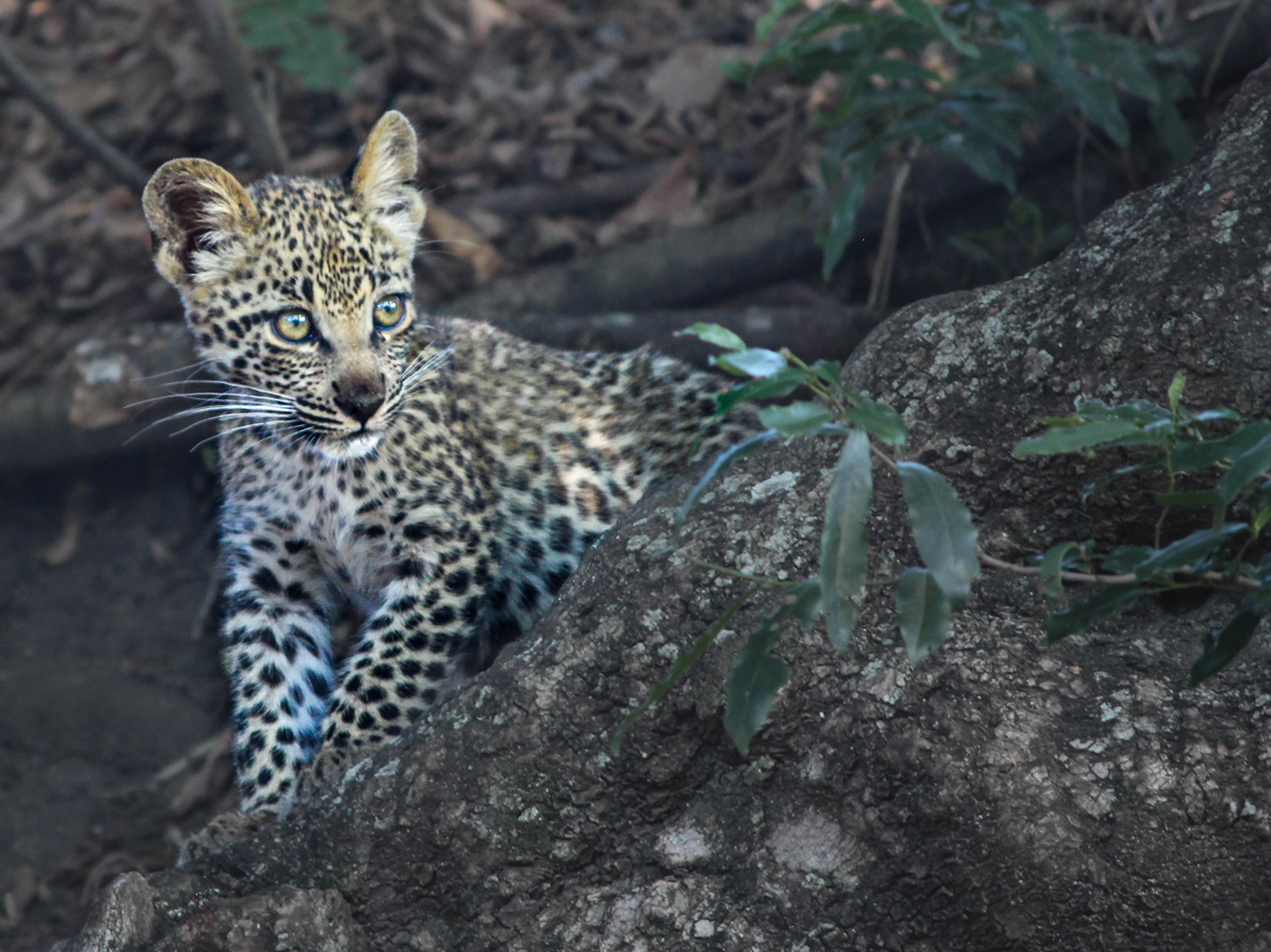 leopard cub learns to crawl up a tree