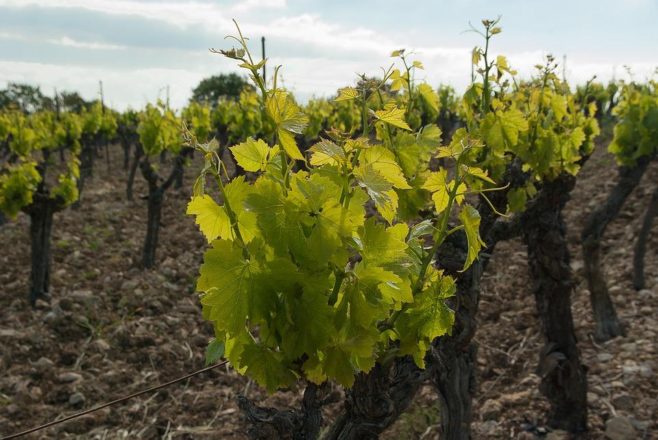 vineyard-1367095_960_720