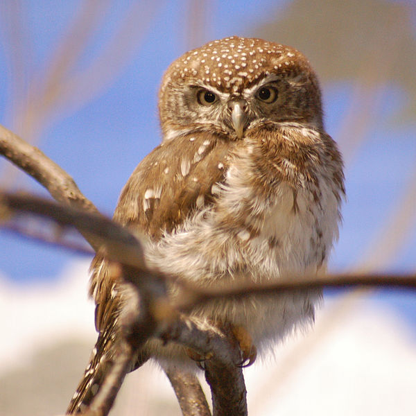Pearl spotted owlet in tree